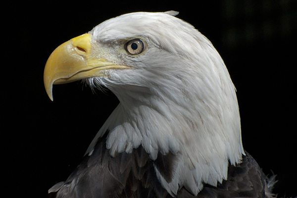 McClure Bald Eagle, Sea Grape Gallery