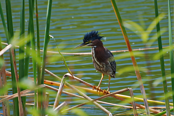 McClure Little Green Heron, Sea Grape Gallery