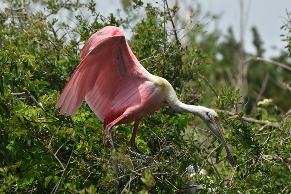 McClure Roseate Spoonbill, Sea Grape Gallery