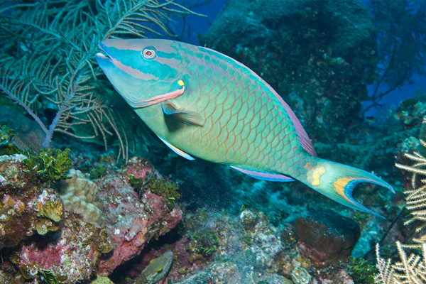 McClure Stoplight Parrotfish, Sea Grape Gallery