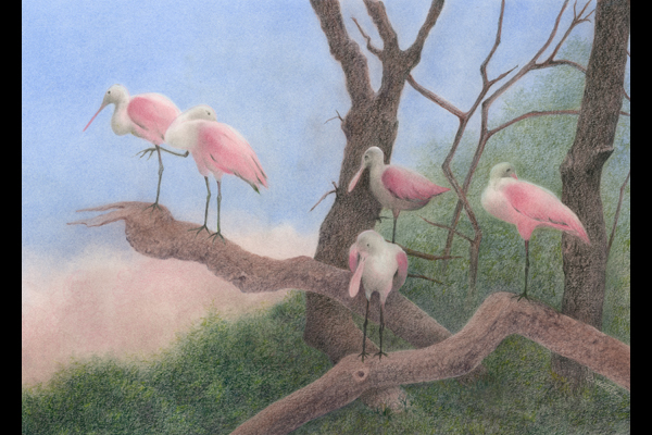 Tuttle Roosting Spoonbills, Sea Grape Gallery