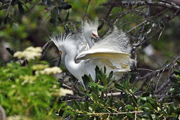 McClure Snow Egret Mating Behavior, Sea Grape Gallery