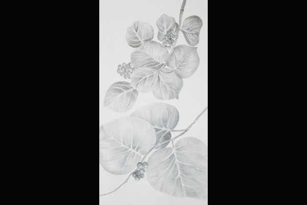 Tuttle Sea Grape Leaves, Sea Grape Gallery