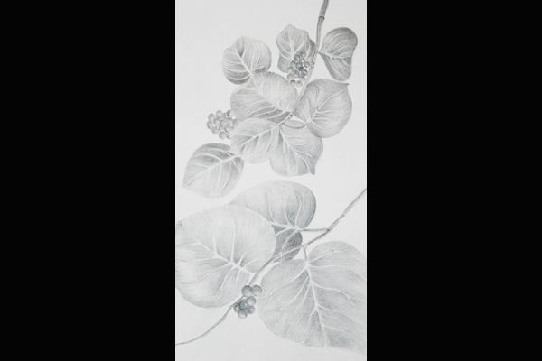 Tuttle Sea Grape Leaves, Sea Grape Gallery